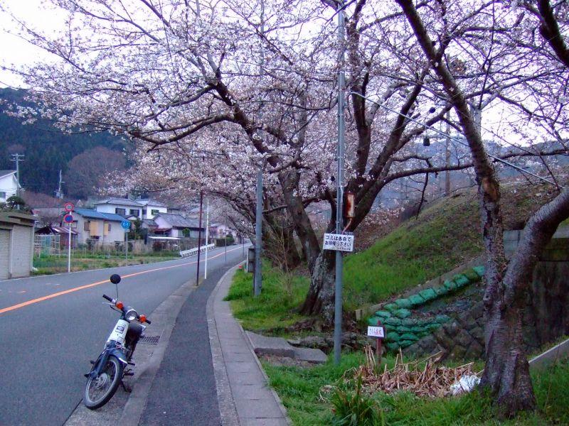 山中渓の桜の開花状況(2013年版)