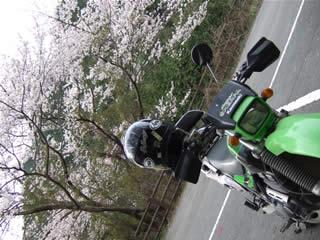 阪南市の鳥取池緑地桜の園