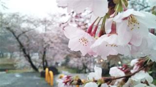 根来寺でちょっとだけ花見