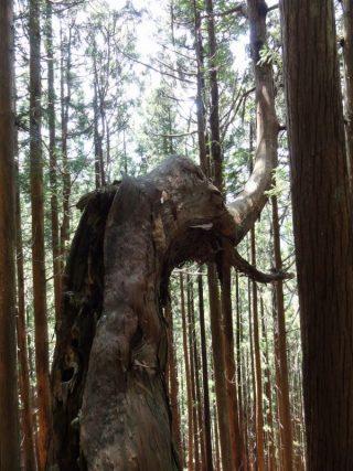 稲村ヶ岳のマンモス杉